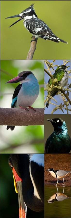 Birds from the Gambia